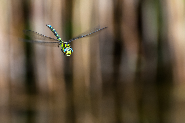 Libelle im Flug