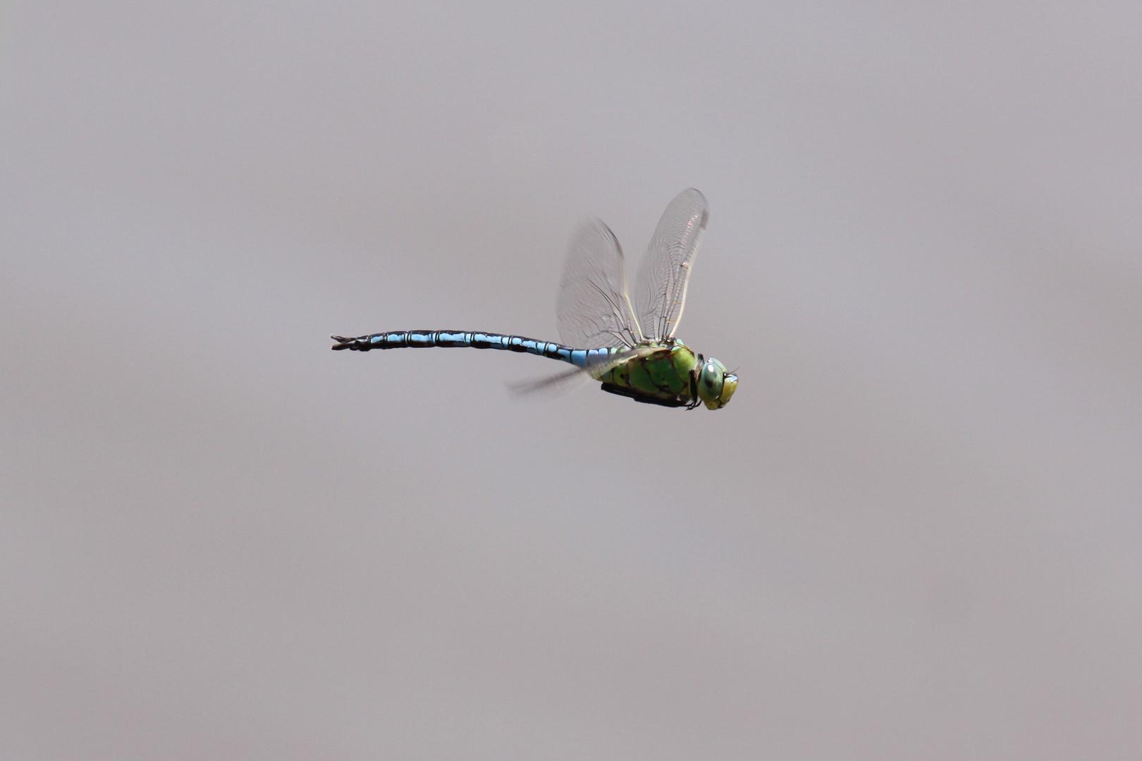 Libelle im Flug 3