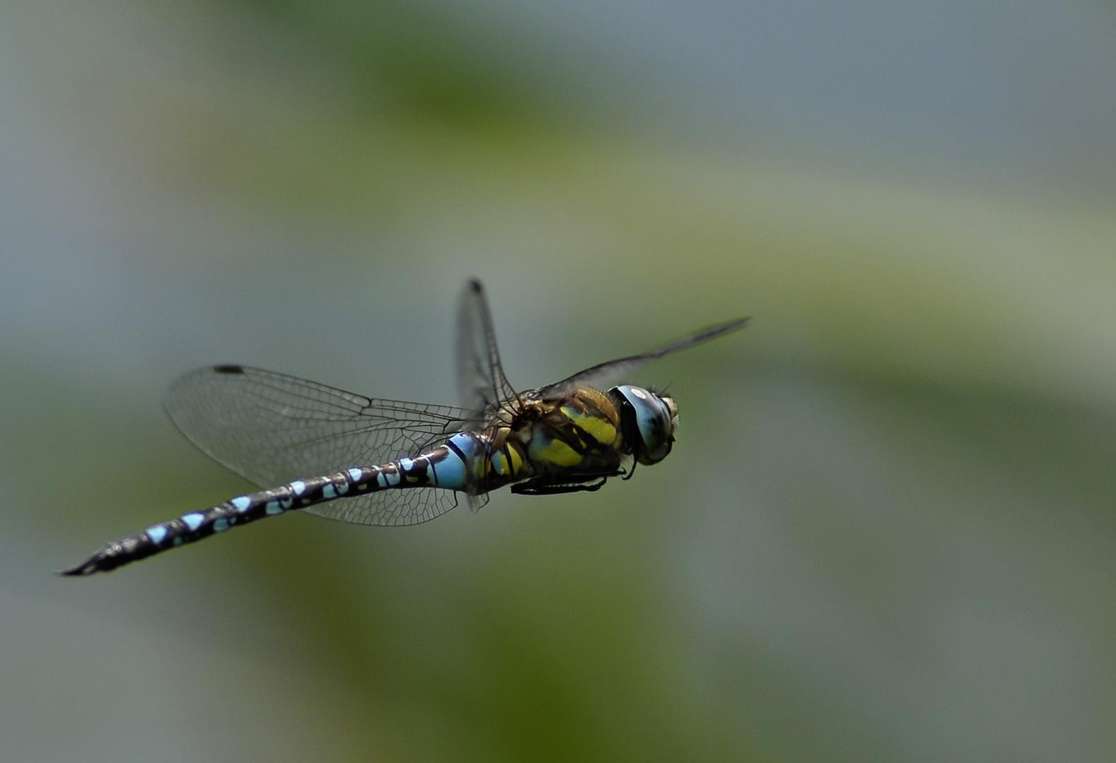 Libelle im Flug I