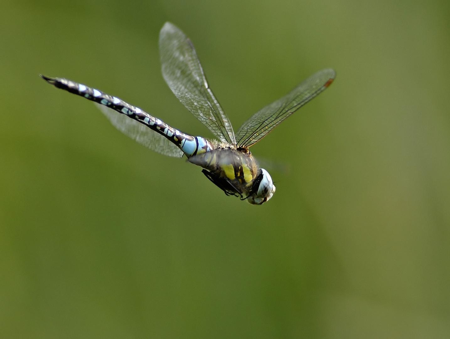 Libelle im Flug II