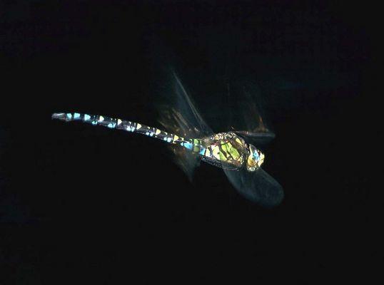 Libelle im Flug zum xten und letzten Mal