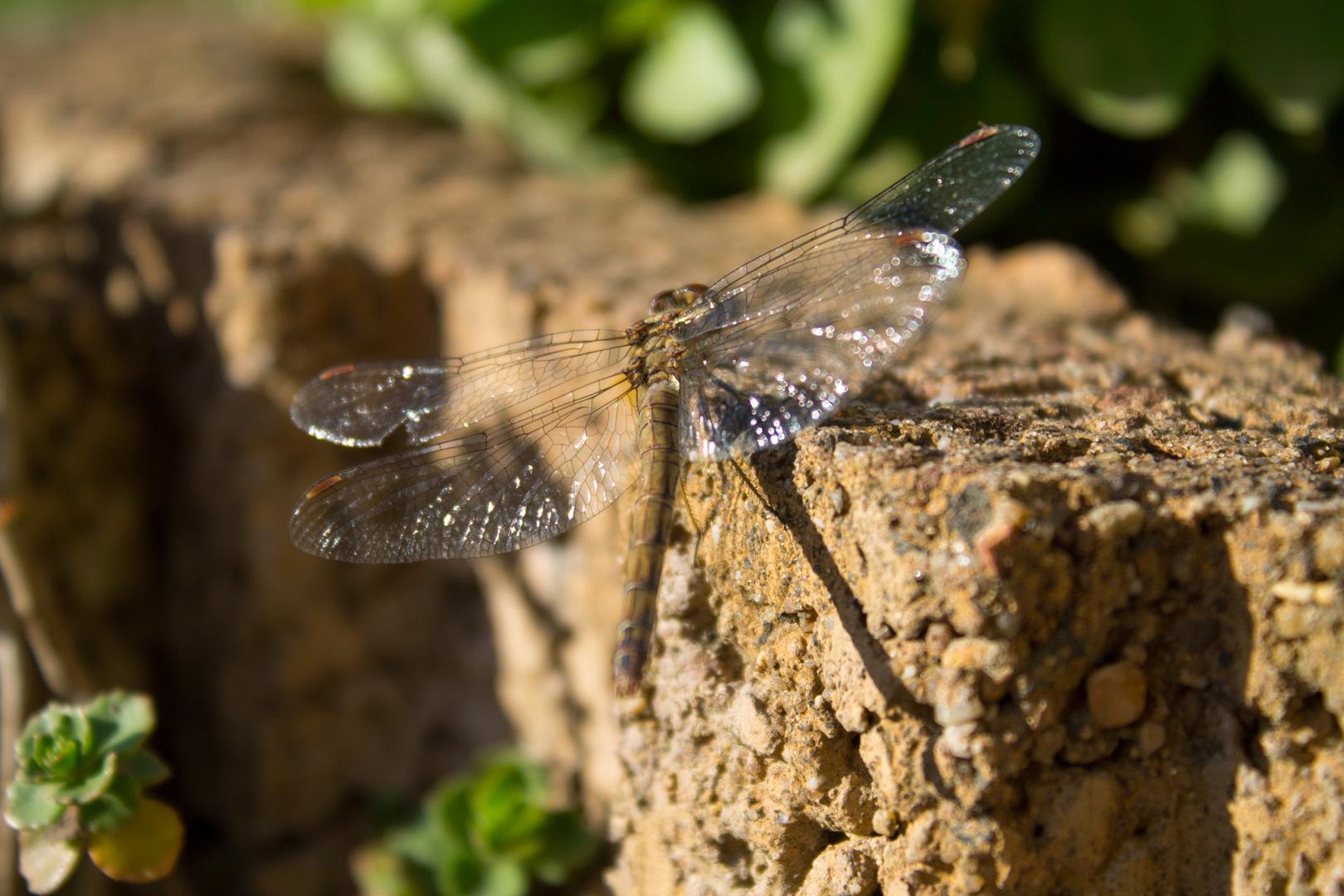 Libelle im Garten 1