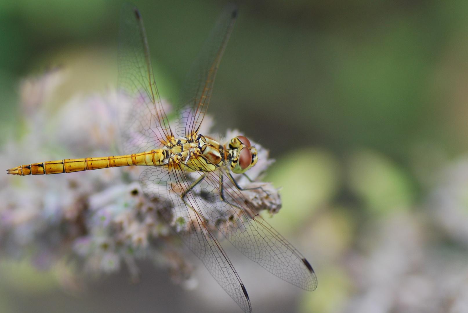 Libelle im Garten (2)