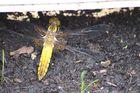 Libelle im Garten