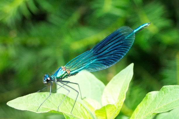 Libelle im Garten - gebänderte Prachtlibelle
