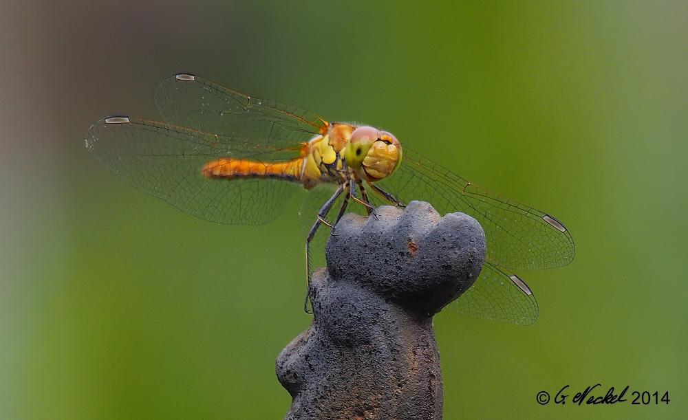 Libelle im Garten Portrait