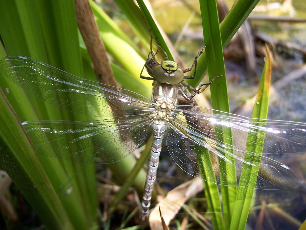 Libelle im heimischen Garten