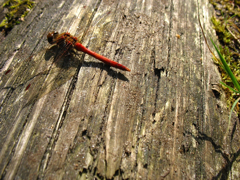 Libelle im Herbst