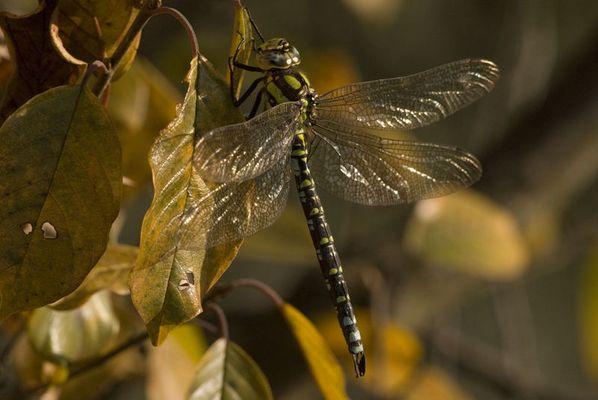 Libelle im Herbstlaub