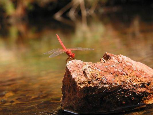 Libelle im Herzen von Australien
