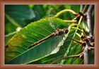 Libelle im Kirschbaum