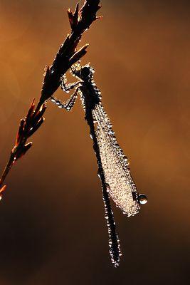 Libelle im Morgentau bei Sonnenaufgang
