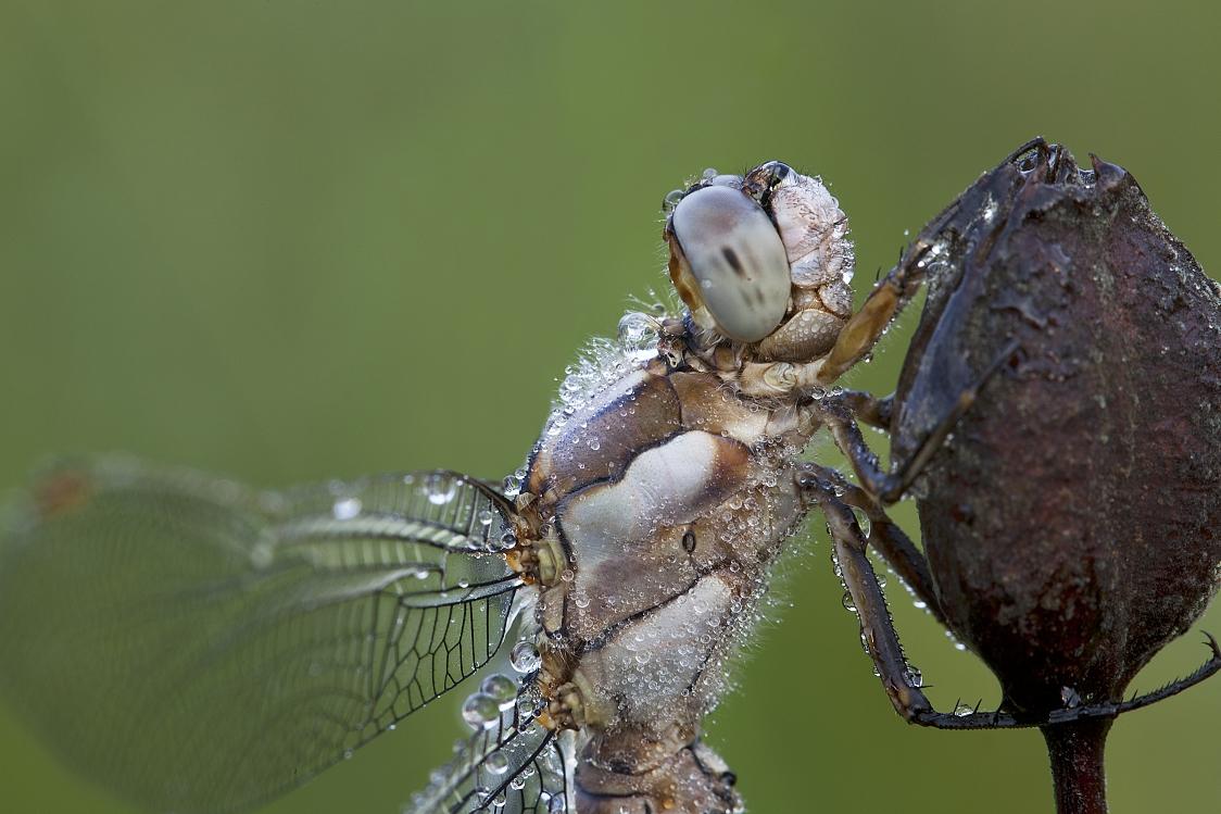 Libelle im Morgentau ganz nah ran