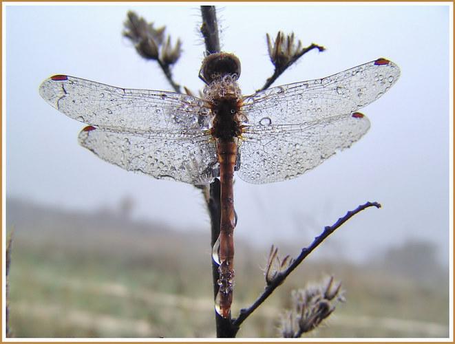 Libelle im Nebeltau