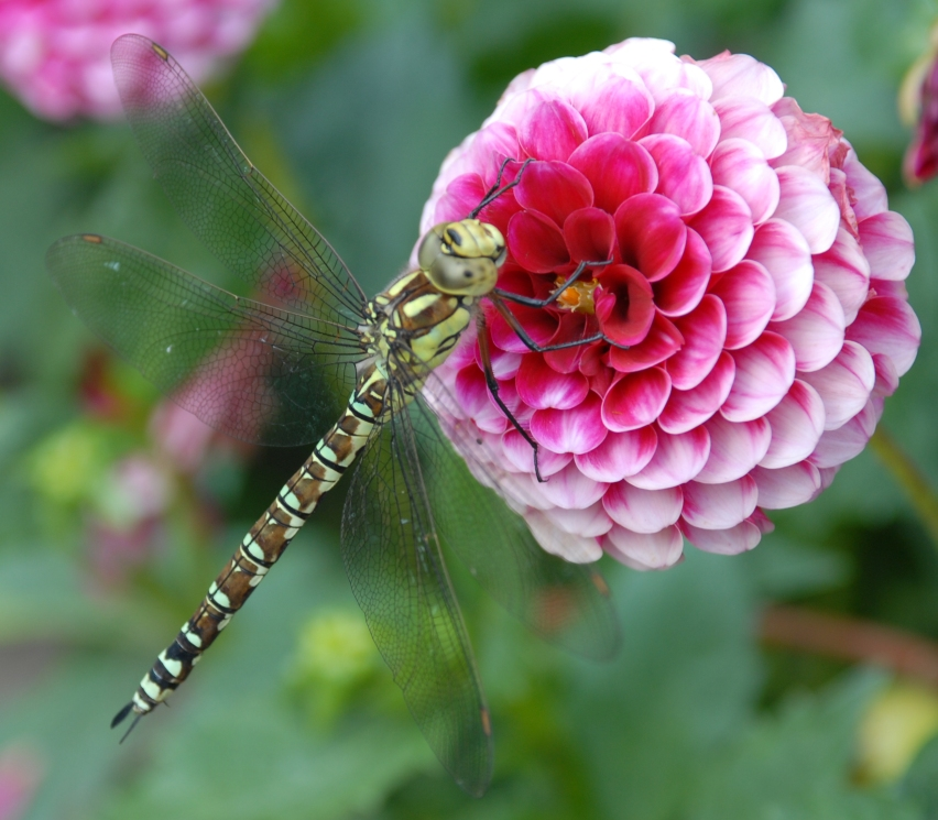Libelle im Nolde-Garten