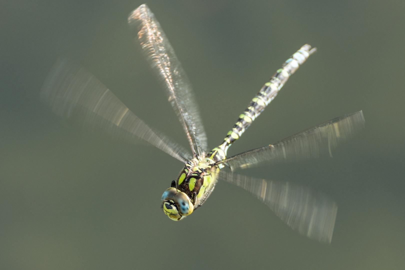 Libelle im Schwebflug über einem Teich