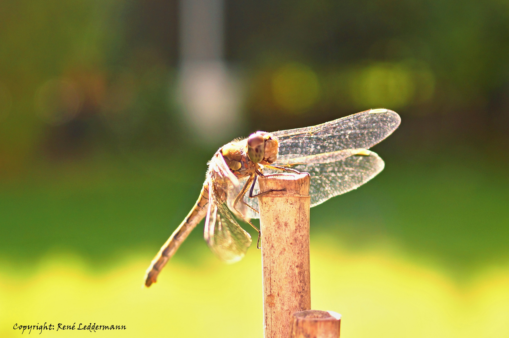 Libelle im Sonnenlicht