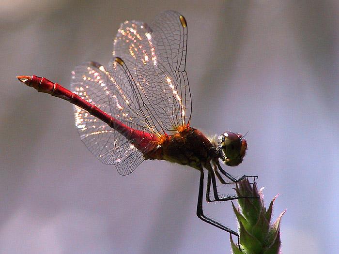 Libelle im Sonnenuntergang... unterbelichtet :-(