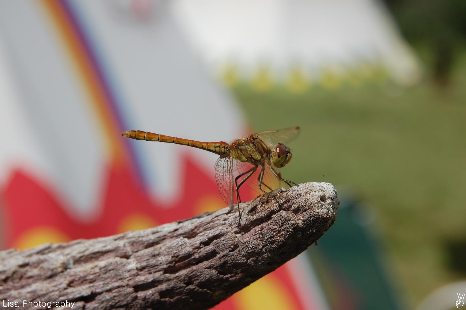 Libelle im Zeltlager