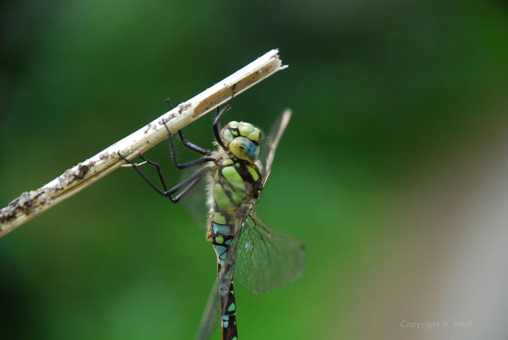 Libelle in Bewegung