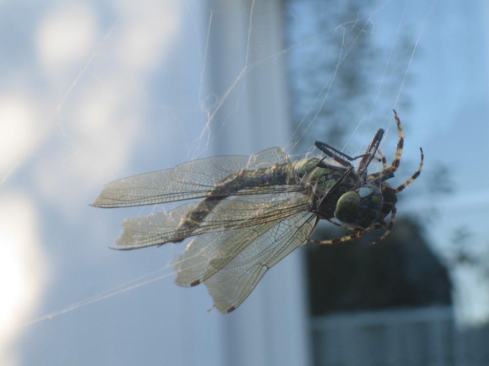 Libelle in den Fängen einer Spinne