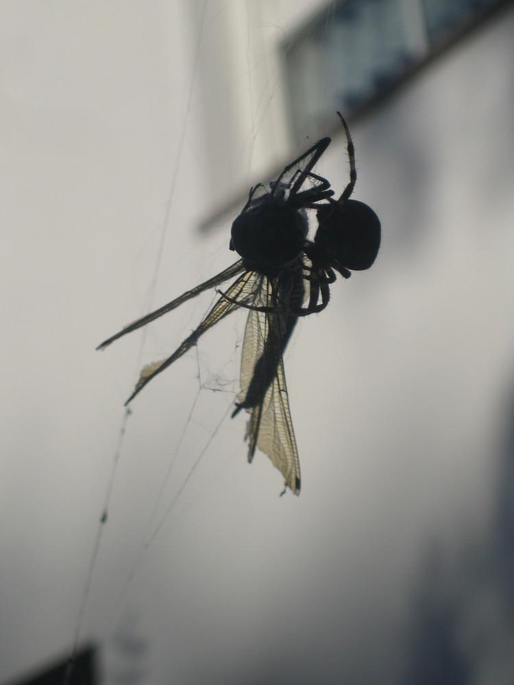 Libelle in den Fängen einer Spinne (Seitenansicht)