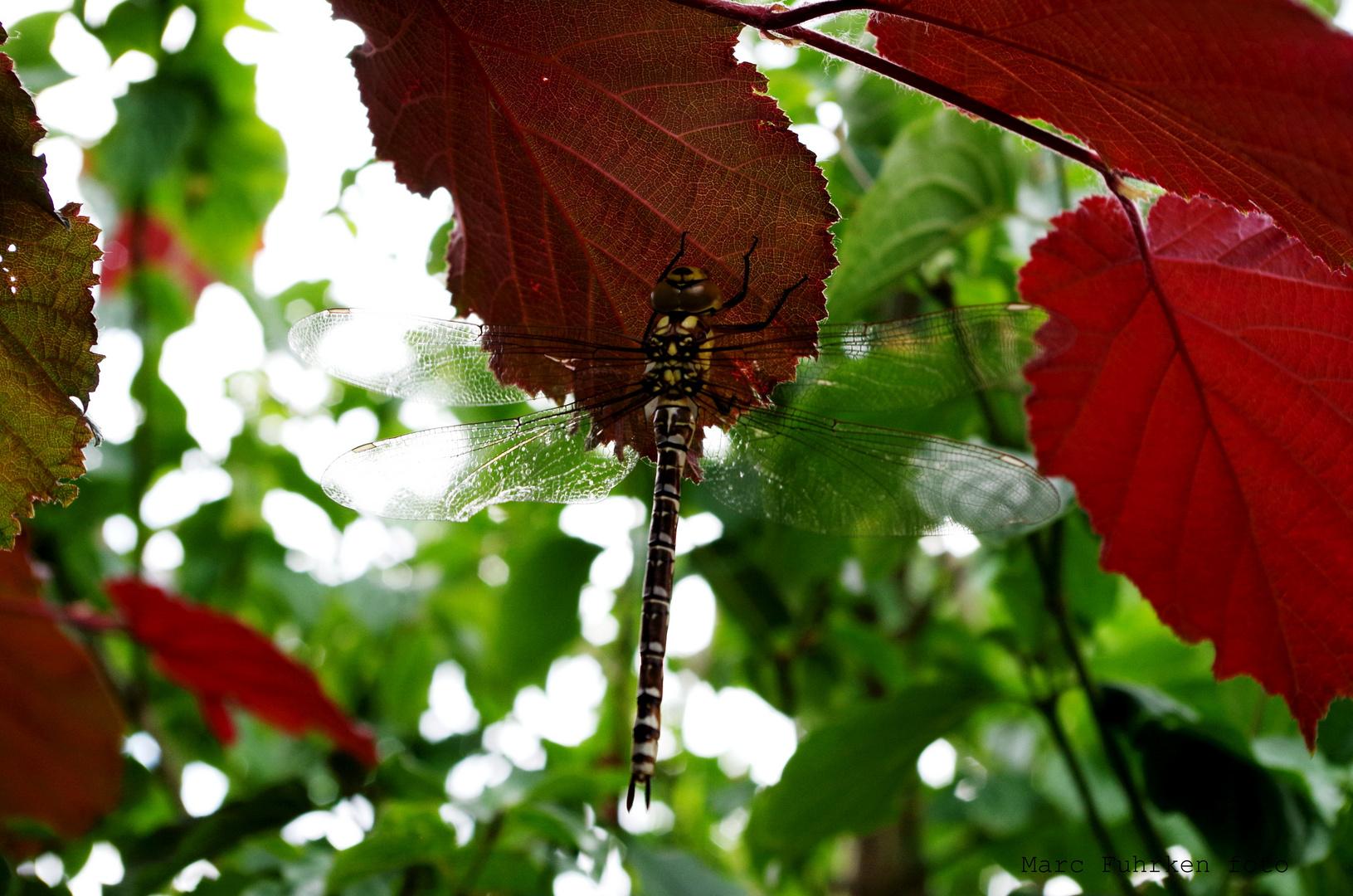 Libelle in der Abendsonne