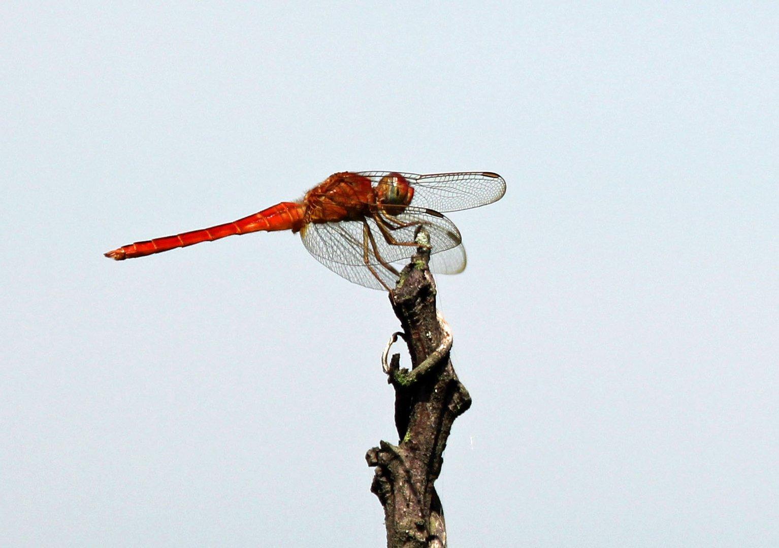 Libelle in der Nähe vom Borobudur