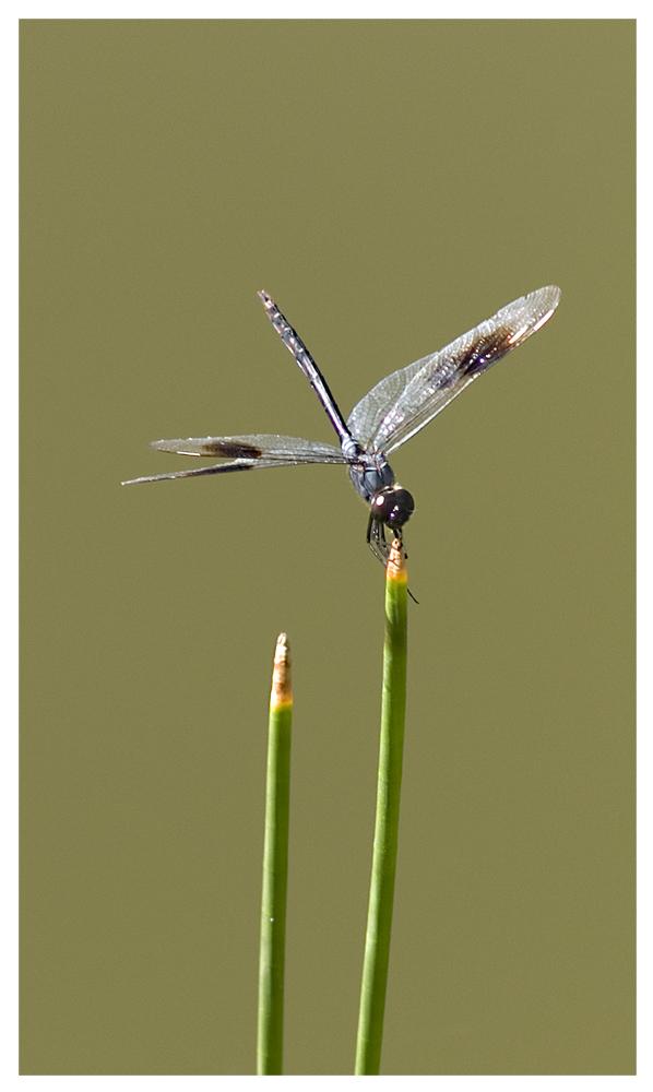 Libelle in einem Park in Fort Myers