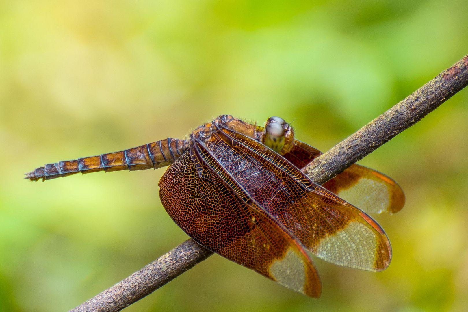 Libelle in Kundapur 2