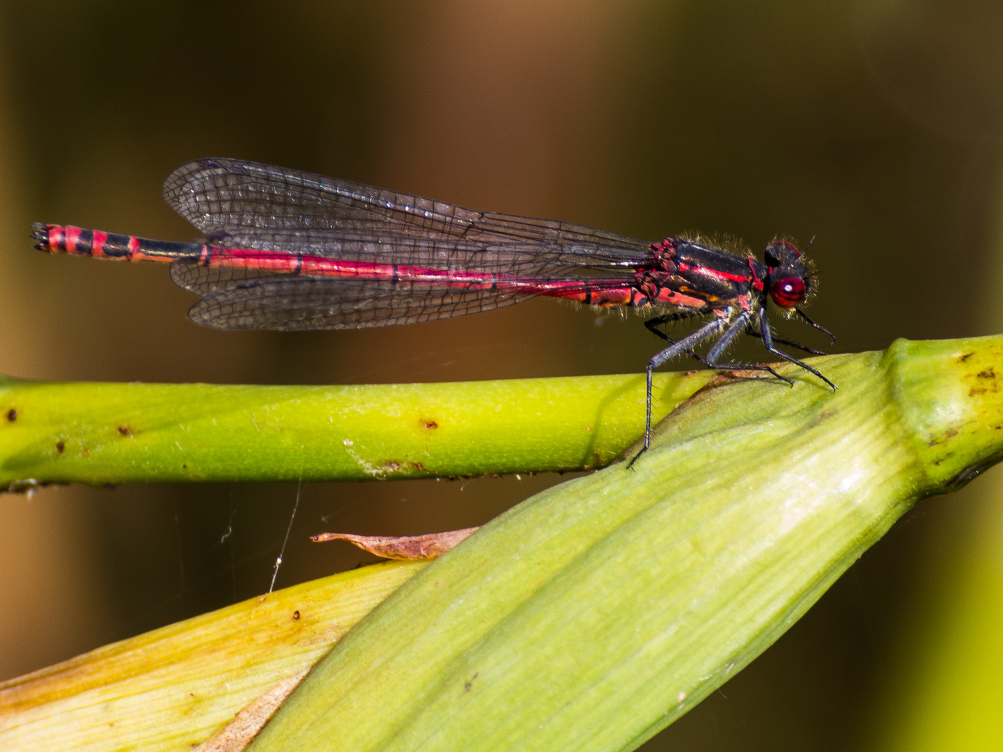 Libelle in Rot