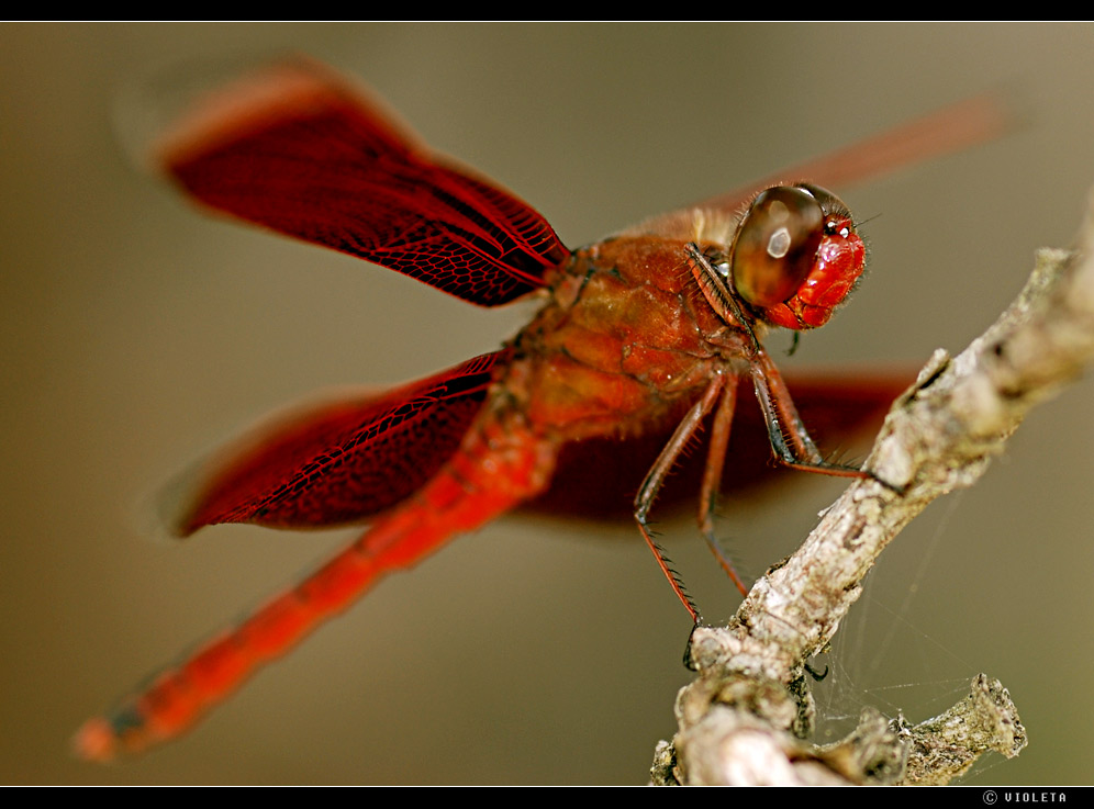 Libelle in Rot (I)