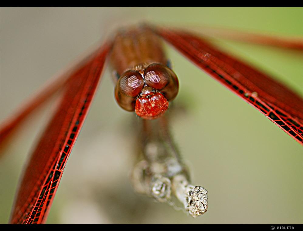 Libelle in Rot (II)
