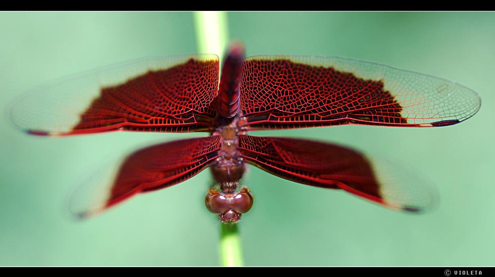 Libelle in Rot (III) - Kopfstand