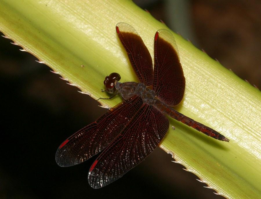 Libelle in Singapur