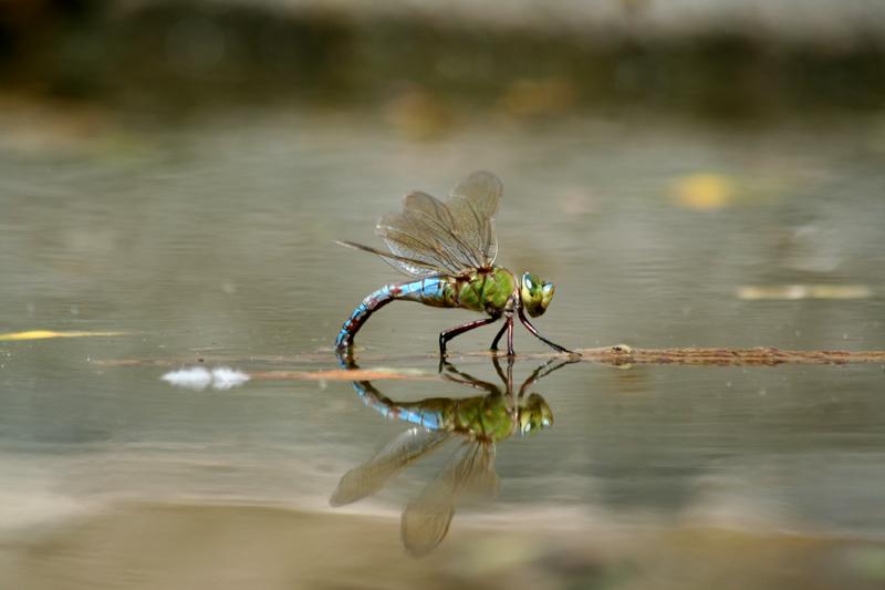 Libelle in Spanien