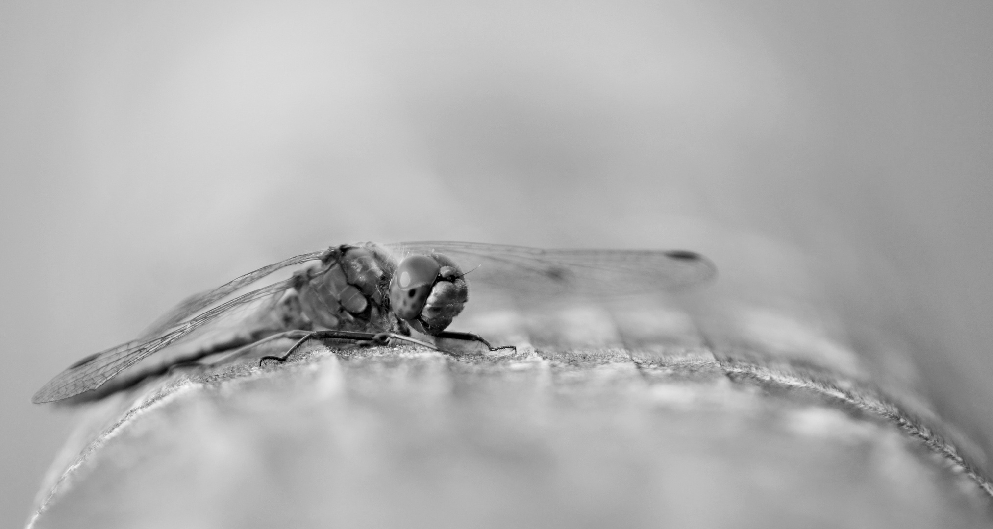 Libelle in SW