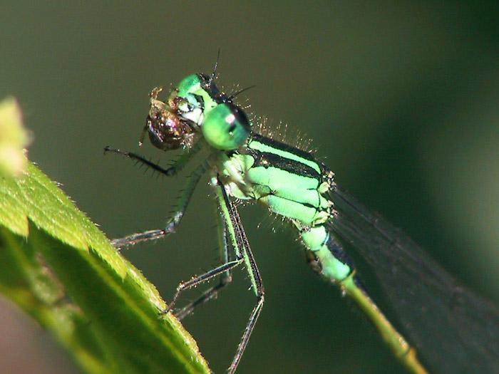 Libelle isst Spinne: für Martina