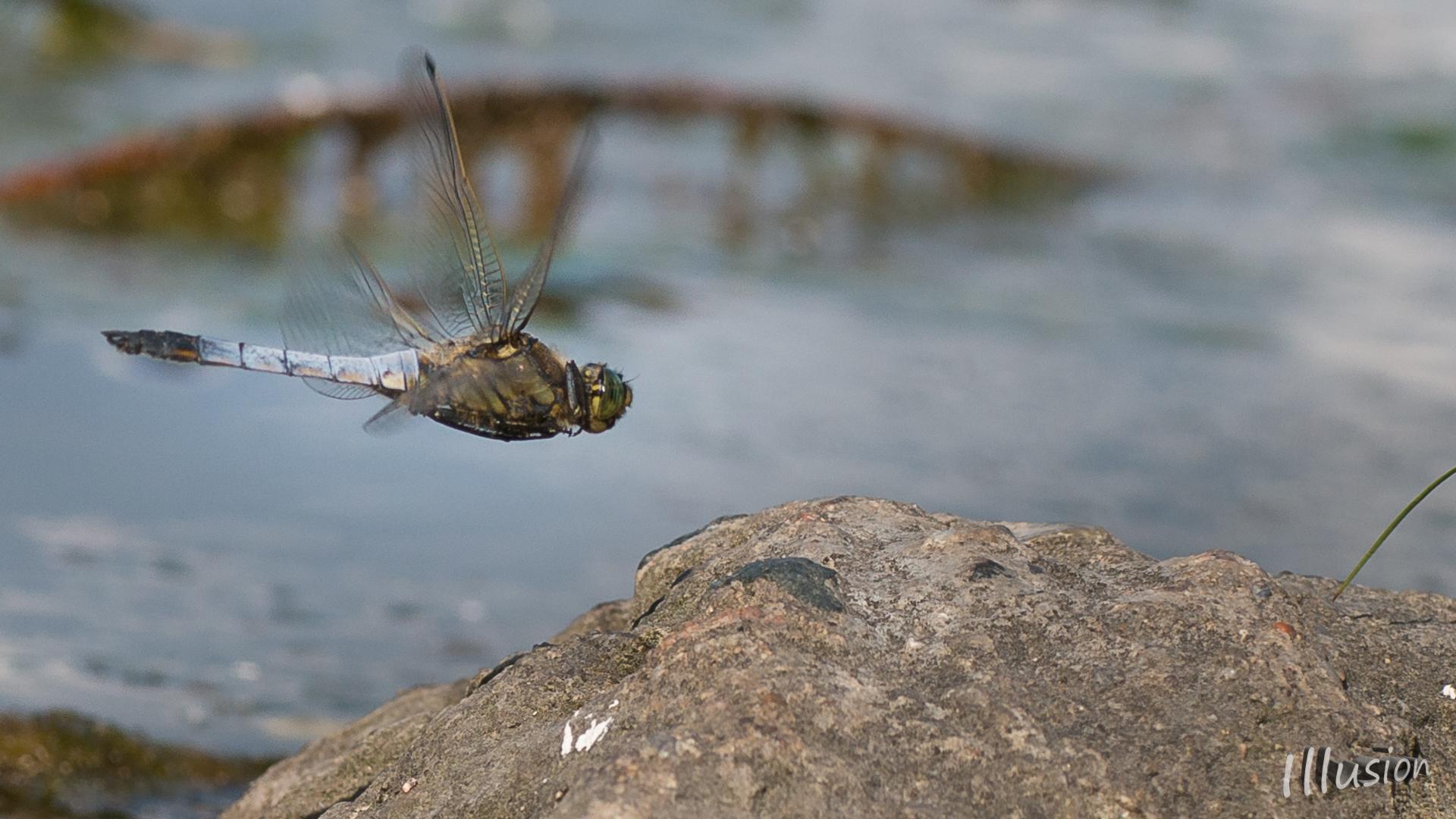 Libelle landet auf dem Stein