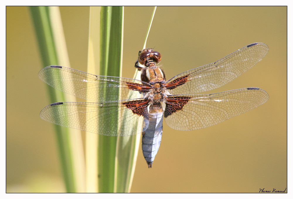 Libelle: Libellula depressa - Danke Ushie für die Bestimmung
