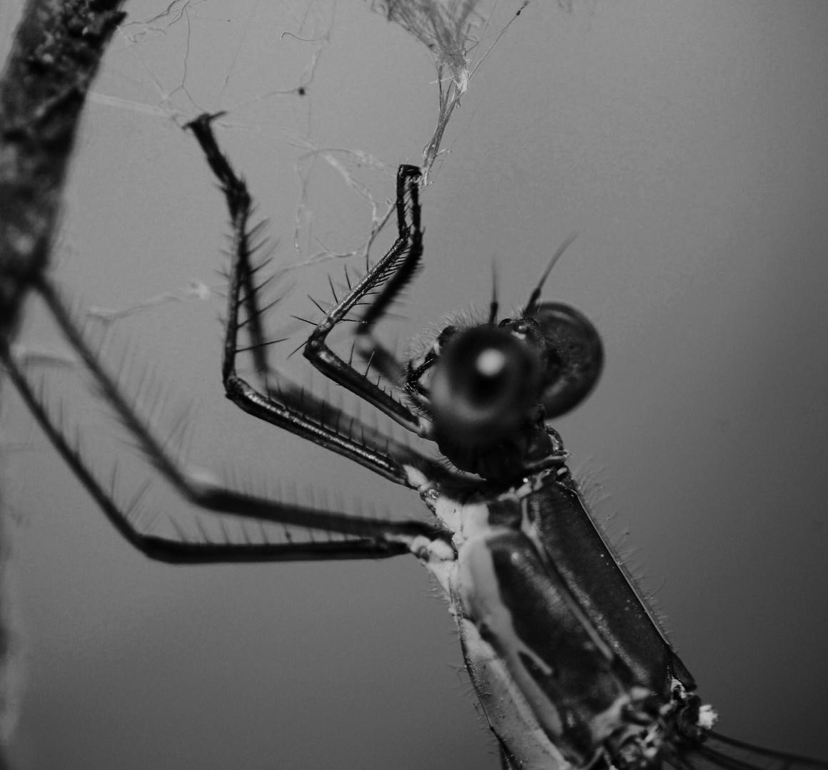Libelle - Makro