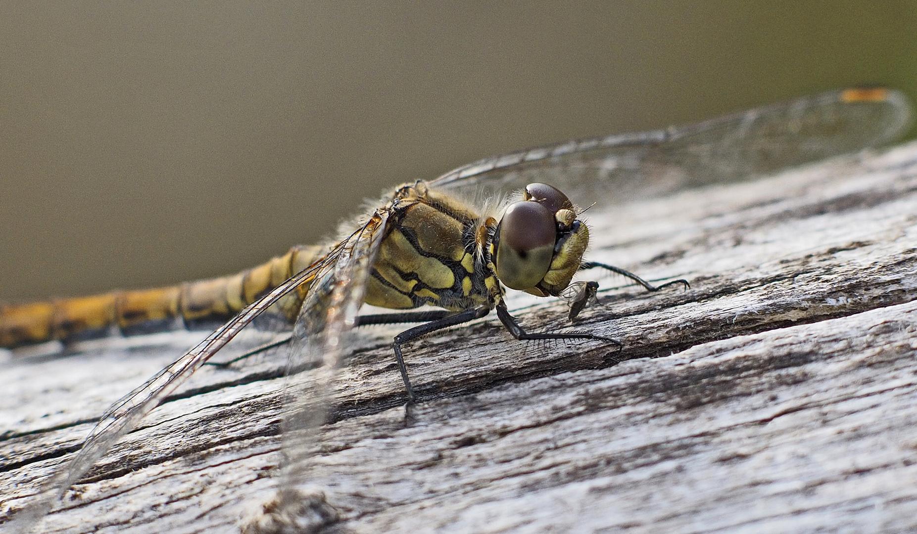 Libelle mit Beute