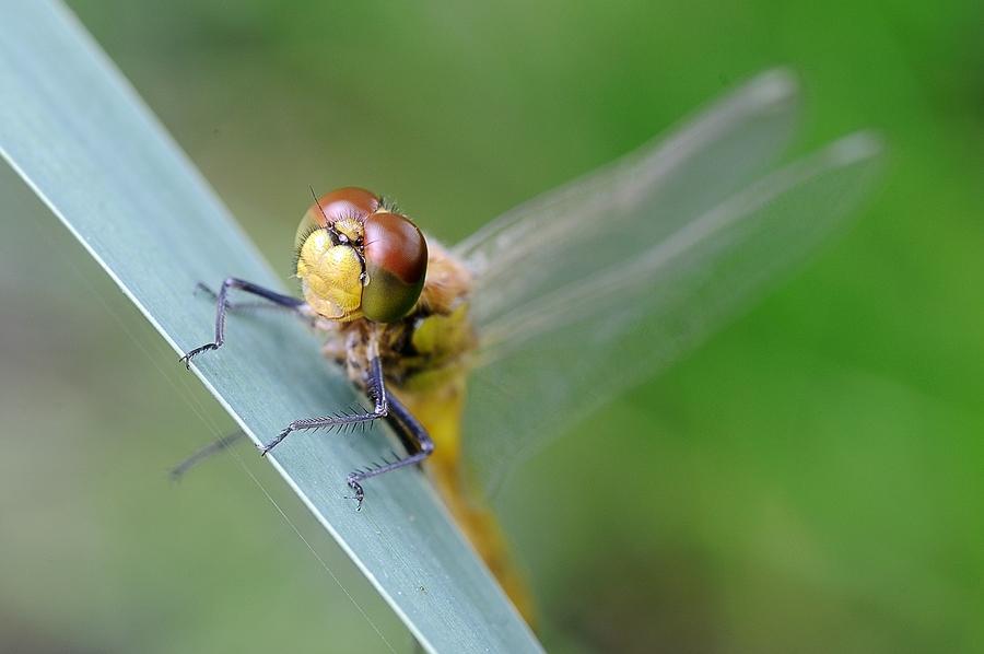 Libelle mit Blickkontakt