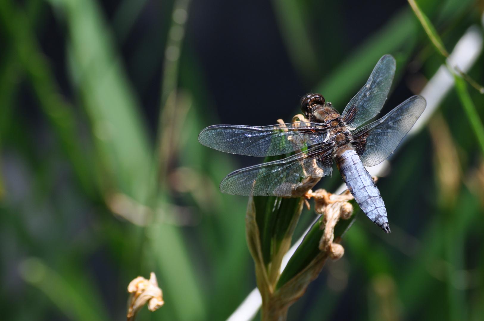 Libelle mit Flügelschaden