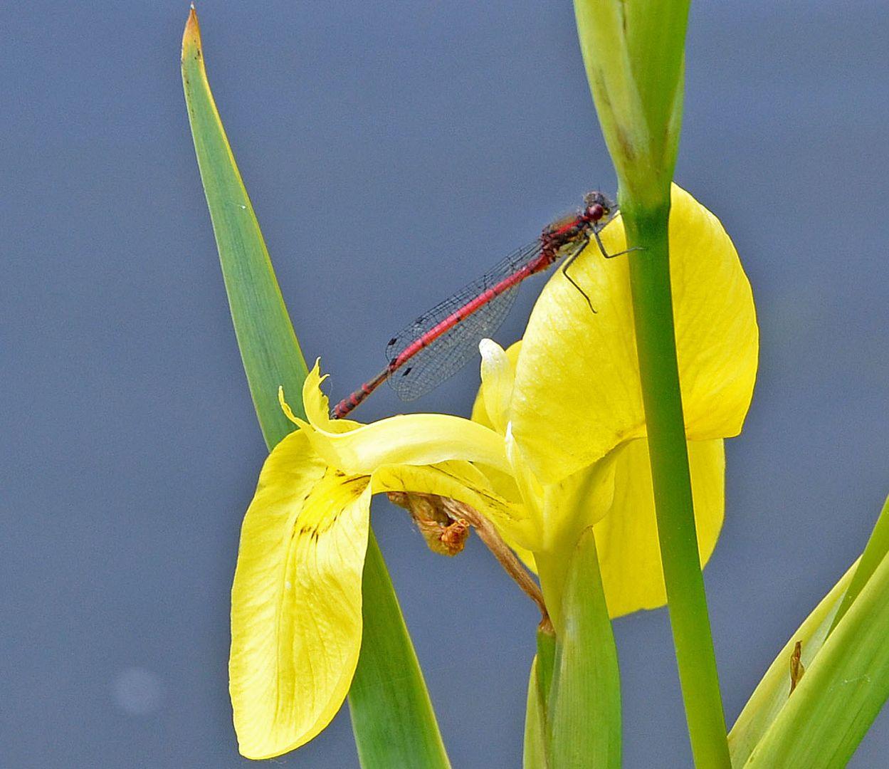 Libelle mit Iris