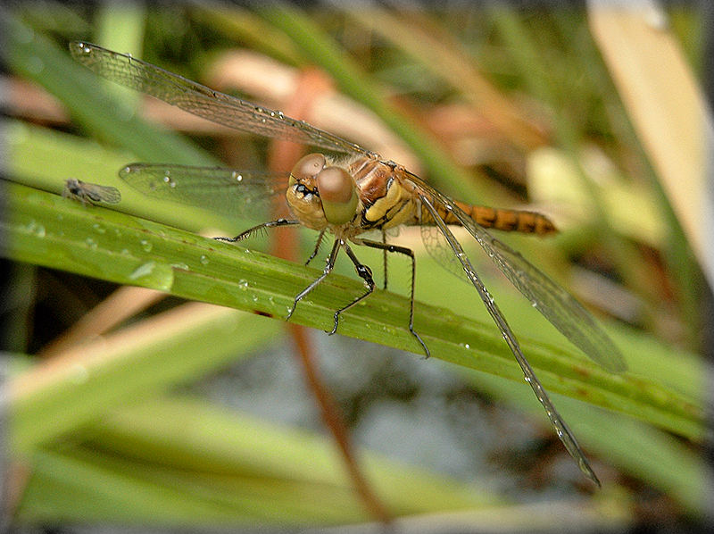 Libelle mit Lotse