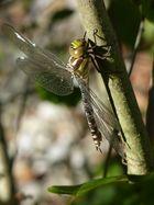Libelle mit neuer Kamera