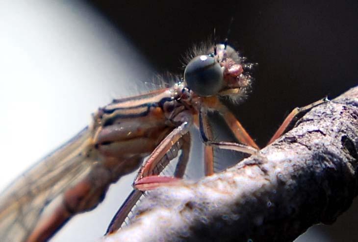 Libelle mit Rauschebart :)