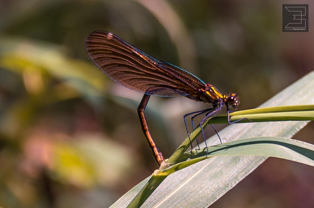 Libelle mit Rückenschmerzen