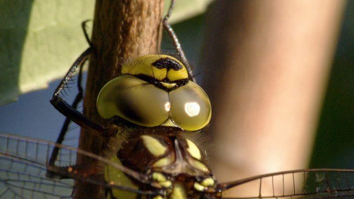 Libelle -Mosaikjungfer